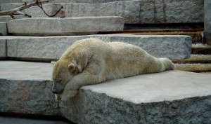 Baby Polar Bear Struggles To Roll Over And It's Delightful!