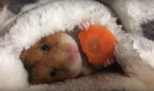 Hamster's Winter Sunday Is No Different Than Ours!!