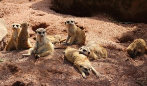 This Meerkat Dozing Off Is Us In School Days