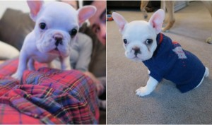 Tiny French Bulldog Is The Cutest Instagram Star