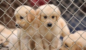 No more suffering for the Four Legged Creatures: Govt Bans Import Of Foreign Dogs For Breeding