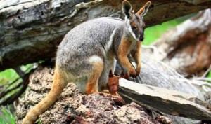 Bizarre: Kangaroo Jumps On Woman, Ruptures Her Breast Implants And Flee