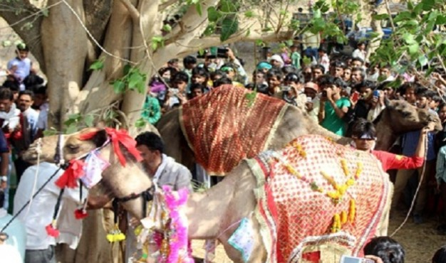 shivpuri-camel-marriage-1
