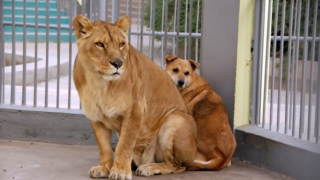 lion-protects-dog