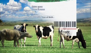 Holy Cow! Soon, Indian cows will have their own Aadhaar number with details of horn and tail