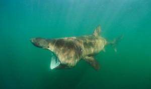 Watch: Giant Goliath Grouper gulps down Shark as Fishermen watch in shock