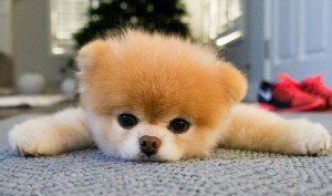 Boo, world's cutest dog and internet sensation, dies of 'broken heart'